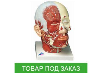 Модель головы - мышцы головы с нервами