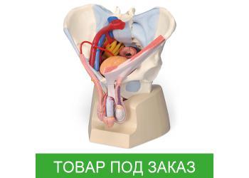 Модель таза мужчины со связками, сосудами, нервами, тазовым дном и органами
