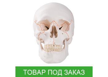 Классический череп пронумерованный