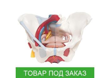 Модель таза женщины со связками, сосудами, нервами, тазовым дном и органами