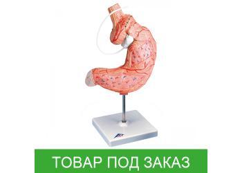 Модель желудочного бандажа
