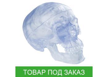 Модель черепа - прозрачный череп