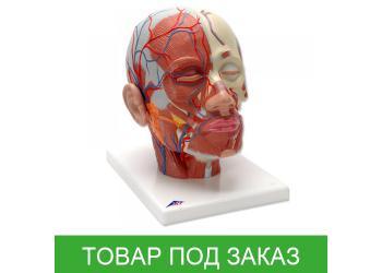 Модель головы - мышцы головы с кровеносными сосудами