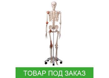 Модель скелета человека Лео с суставными связками