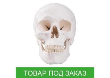 Модель черепа человека, классическая