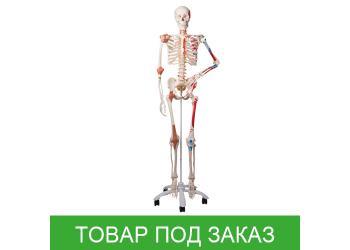 Модель скелета человека Сэм специальная