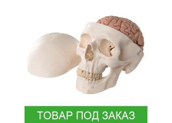 Модель черепа - классический череп с мозгом