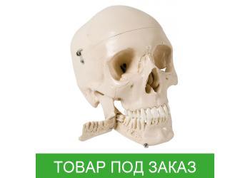Череп с зубами для удаления